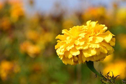 Tagete, Marigold, Blossom, Bloom, Plant, Flower