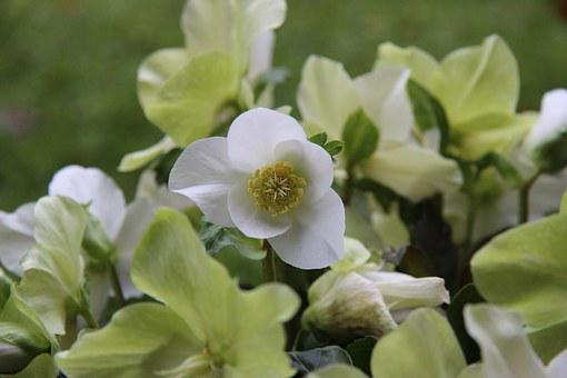 Christmas Rose, Christmas, White, Nature, Hellebore