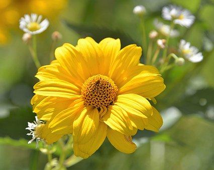 Blossom, Bloom, Perennial Sunflower, Close, Composites
