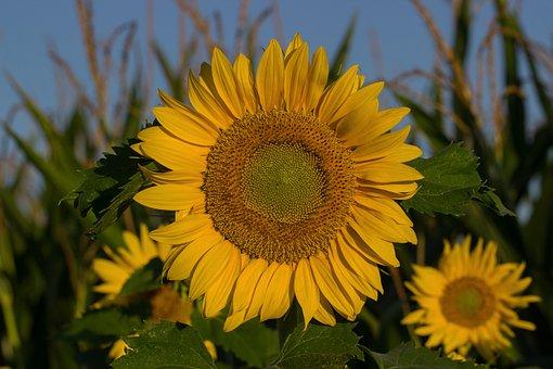 Sun Flower, Summer, Sun, Composites, Blossom, Bloom
