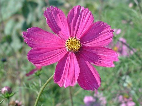 Cosmea, Blossom, Bloom, Flower, Pink Flower, Cosmos