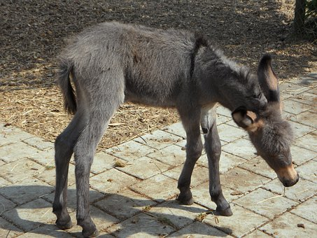 Donkey, Donkey Foal, Clumsy, Foal, Animal, Farm