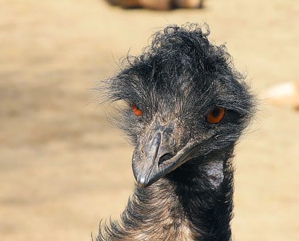 Emu, Portrait, Head, Bill, Flightless Bird, Australia