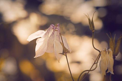 Columbine, Pointed-akelei, Pointed Flower, Flower