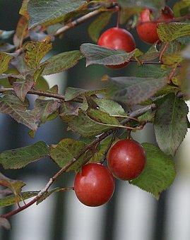 Plum, Fruit, Mature, Plum Branch, Allowing For Plum