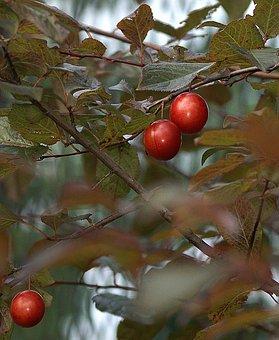 Plum, Fruit, Fruit Growing, The Richness Of, Sad