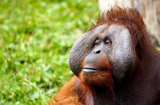 Monkey, Orangutan, Animal, Face, Hair, Gagio, Red