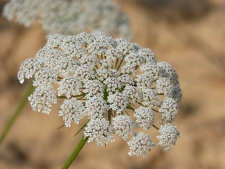 Flower, Apiacea, Anthriscus Sylvestris, Green Chervil