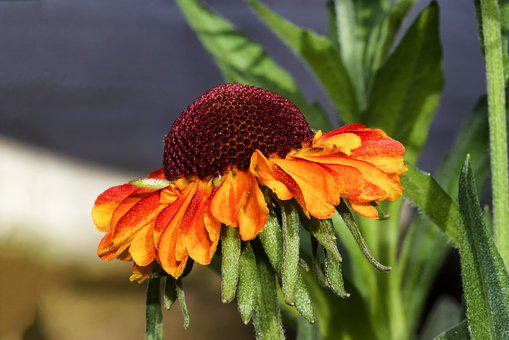 Sun Brews, Helenium, Composites, Tubular Blooms, Flower