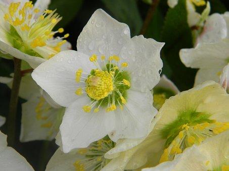 Rose Christmas, Hellebore White, Helleborus Niger