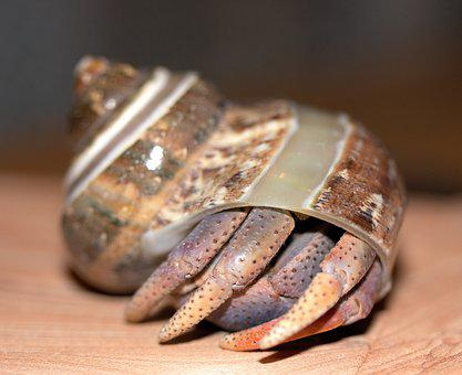 Crab, Hermit Crab, Crustacean
