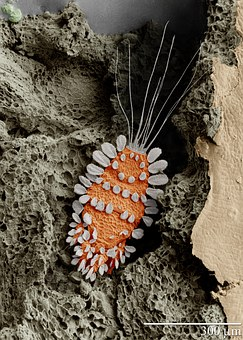 Mite, Tuckerella, Acari, Arachnid, Arachnida, Insect
