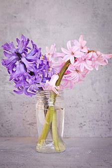 Hyacinth, Pink, Blue, Flower, Pink Flower, Blue Flower