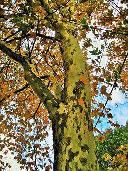 Plane Tree, Tree, Trunk, Tall, Leaves, Foliage, Yellow