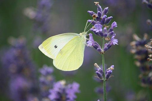 Plant, Lavender Flowers, Summer