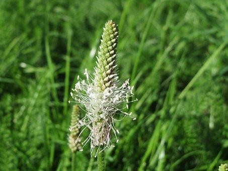 Plantago Media, Hoary Plantain, Macro, Wildflower
