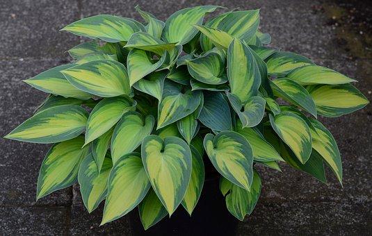 Plantain Lily, Hosta, Tardinia 'june, Golden Green
