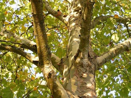 Plane Tree, London Plane Tree, Sycamore, Platanaceae