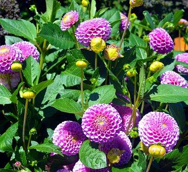Dahlia, Pompon Dahlia, Composites, Ornamental Flower