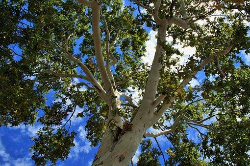 Plane Tree, Cottonwood, Poplar, Tree, Plane, Trunk