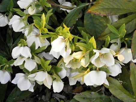 Christmas Rose, White Flowers, Spring Flowers
