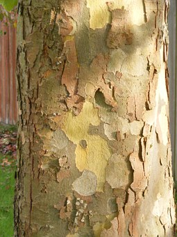 Plane Tree, Bark, London Plane Tree, Sycamore