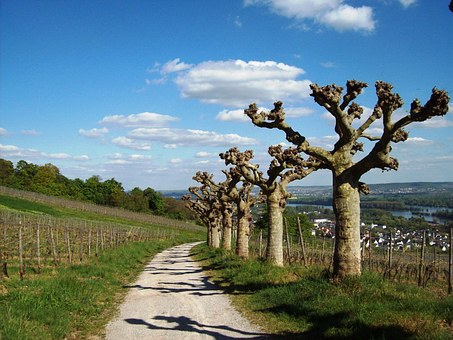 Rüdesheim Am Rhein, Plane Trees, Vineyards, Spring