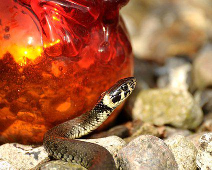 Snake, Grass Snake, Reptile, Nature, Water Snake