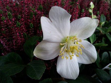 Christmas Rose, Christmas, White, White Flower, Flower