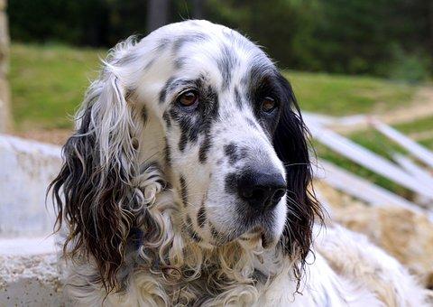Dog, Animal, Pets, Sheepdog, Profile Dog, Dog Resting