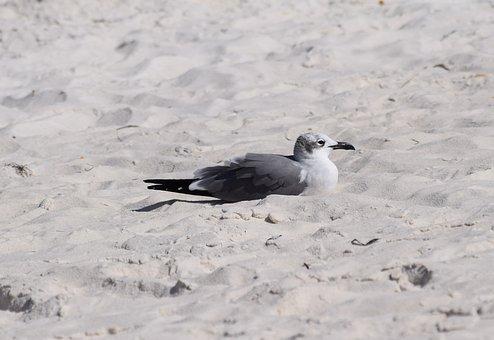 Resting Herring Gull, Gull, Shore Bird, Animal, Nature
