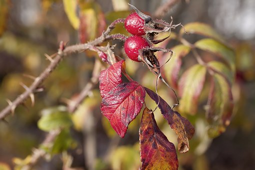 Rose Hip, Autumn, Red, Nature, Bush, Autumn Fruits