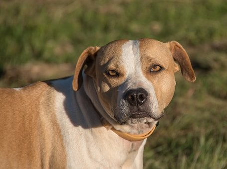 Dog, Staffordshire Bull Terrier, American, Breed, Brown