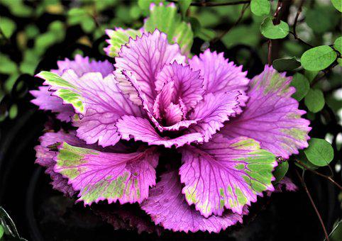 Autumn, Flower, Cabbage, Ornamental Plant