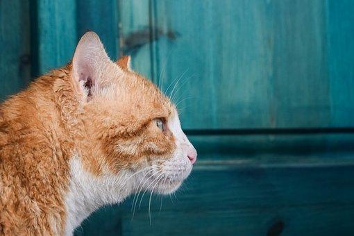 Cat, Stray, Red, Animal, Kitten, Kitty, Outdoor