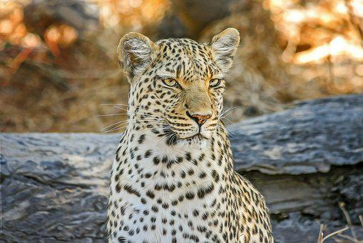 Leopard, Africa, Safari, Wildcat, Botswana, Cat