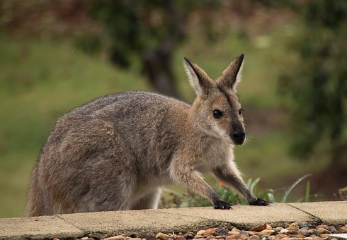 Wallaby, Rednecked Wallaby, Climbing, Steps, Exploring