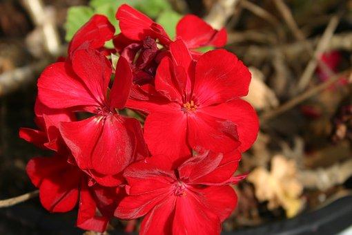 Flower, Red, Geranium, Floral, Nature, Plant, Colorful