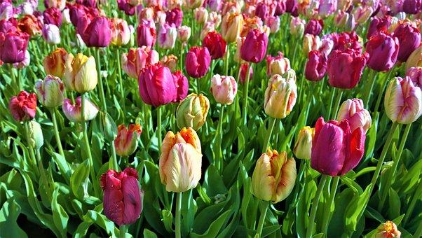 Tulips, Flowers, Tulip, Spring, Garden, Pink, Orange