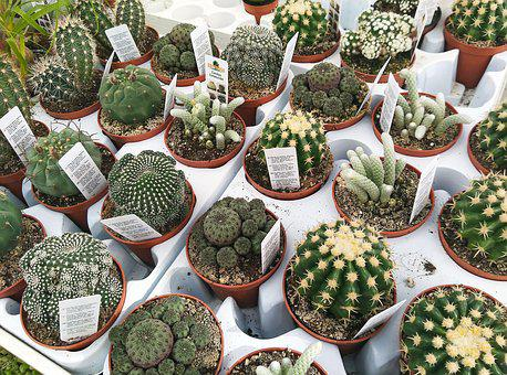 Nursery, Cactus, Plants, Thorns, Green, Pots