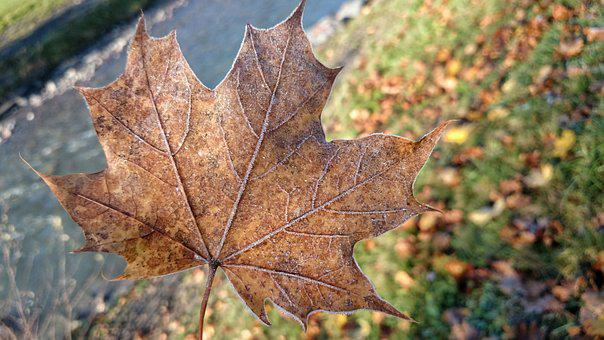 Late Autumn, Maple Leaf, The Background