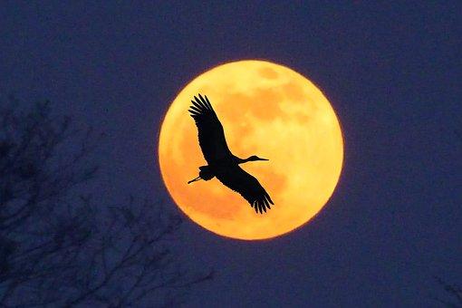Stork, Moon, Full Moon