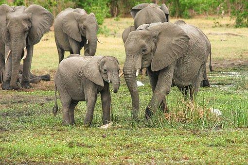 Elephant, Africa, African Bush Elephant, Proboscis