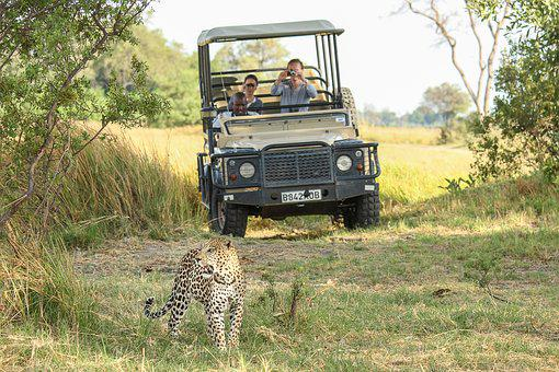 Leopard, Africa, Botswana, Wildcat, Safari, Cat