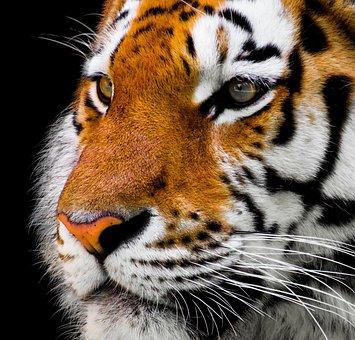 Animal, Tiger, Cat, Amurtiger, Predator, Dangerous