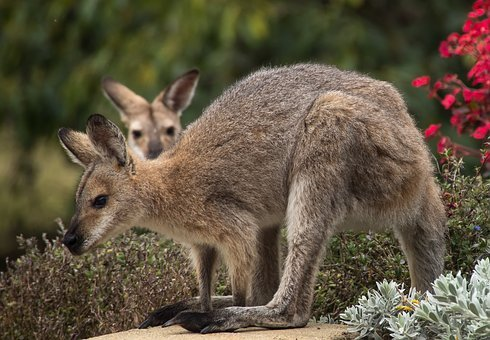 Wallaby, Rednecked Wallaby, Wallabies, Two, Watching