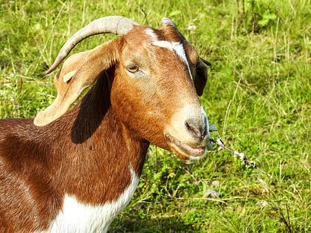 Goat, Boer Goat, Weidetier, Animal, Nature