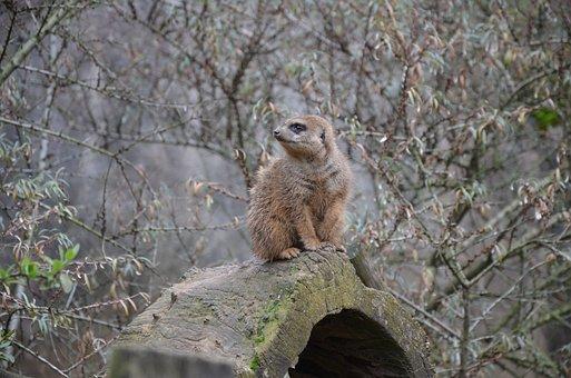 Meerkat, Guard, Attention, Keep Watch, Animal, Watch
