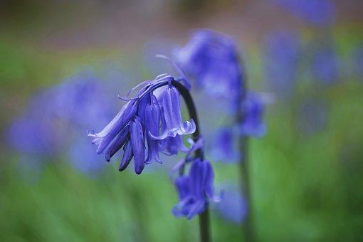 Bluebells, Flowers, Field