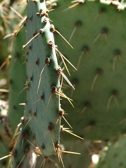 Prickly Pear, Cactus, Southwest, Prickly, Thorn, Desert